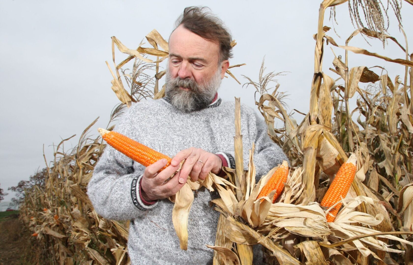 Torbert Rocheford, Orange corn – 11/3/14 – Purdue plant scientist in a field of orange corn at Agronomy Center for Research and Education (ACRE) for an Agriculture's Magazine story. 'The Power of Orange' was published May 18, 2015.